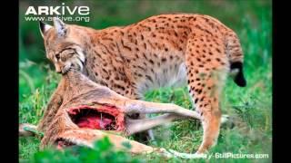 Download Eurasian Lynx vs Timber Wolf Video