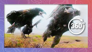 Download Caracaras Team up to Keep Vultures at Bay | Wildlife in 360 Virtual Reality Video