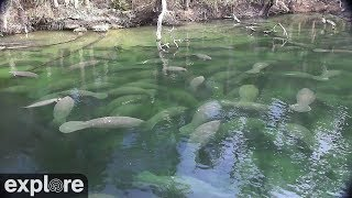 Download Above Water Manatee-Cam at Blue Spring State Park powered by EXPLORE.org Video