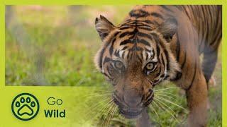 Download Sumatras Last Tigers - The Secrets of Nature Video