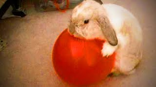 Download Funny Rabbits 🐰😂 Funny Rabbits Playing (Full) [Funny Pets] Video