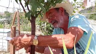 Download TRUCO PARA QUE NO SE SUBAN LAS HORMIGAS A LOS ARBOLES FRUTALES Video