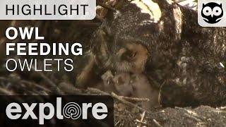 Download Long Eared Owl Feeds Chicks - Live Cam Highlight Video