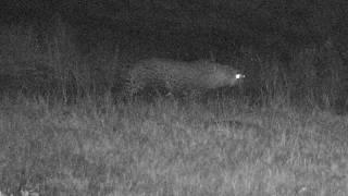 Download Djuma: 2nd leopard(Hosana his son) arrives while Tingana is sleeping-Pt:1 - 00:20 - 08/02/18 Video
