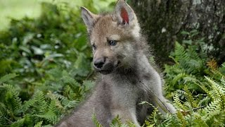 Download Cute Baby Wolf Pups Go Outside For the First Time Video