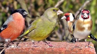 Download Garden Birds Videos For Cats and People To Watch - Goldfinch, Greenfinch, Bullfinch, Robin and More Video
