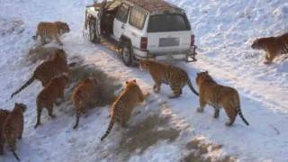 Download Harbin Tiger Park (tiger leaps 20 feet for pheasant) Video