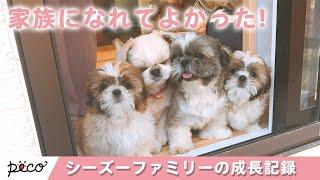 Download 生まれてくれてありがとう!幸せシーズーファミリーの成長記録🎂【PECO TV】 Video