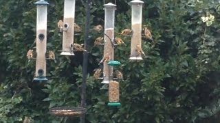 Download Busy UK Garden Bird Feeders (British Birds) Video