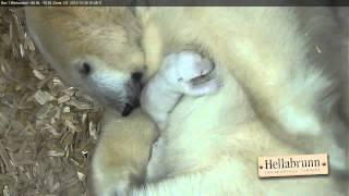 Download Tag 22 im Leben der Eisbärenbabys Video