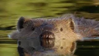 Download Beaver Lodge Construction Squad | Attenborough | BBC Earth Video
