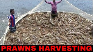 Download PRAWNS/SHRIMP HARVESTING - EPISODE 2 Video
