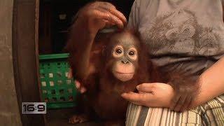 Download 16x9 - Jungle Survivors: Saving Orangutans in Borneo Video