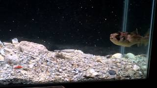 Download Pufferfish vs Goldfish Video