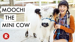 Download A Day With The Cutest Miniature Cow // LA, California Video