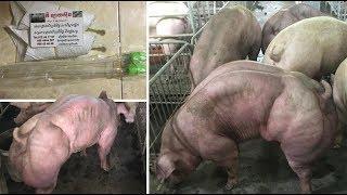 Download Cambodian Farm Breeds Mutant Hulk Like Pigs Video