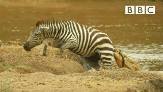 Download Shani the Zebra's incredible escape from ferocious crocodiles - BBC Video