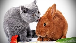 Download Cats and Rabbits Playing Together [Funny Pets] Video