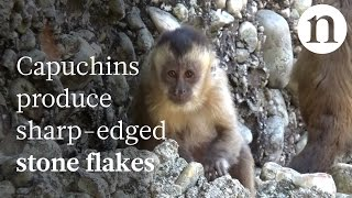 Download Monkeys can make stone tools too Video