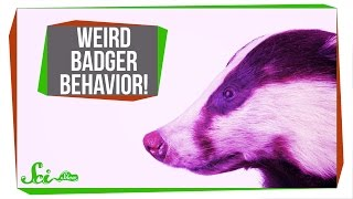 Download This Badger Buried a Whole Baby Cow! Video