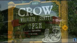 Download Southwest Florida Eagle Cam - CROW Clinic, Temporary Home for Ozzie. Video