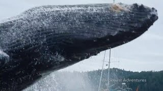 Download Incredible video show humpback whale breaching near kayakers Video