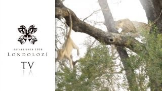 Download Male Leopard Chases Cub out of Tree - Londolozi TV Video