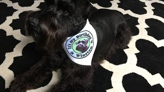 Download Black Miniature Schnauzer Puppy: Watch Winston Grow, first 12 months Video