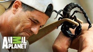 Download Frank deja que un escorpión lo pique | Wild Frank: En busca del dragón | Animal Planet Video