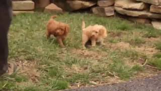 Download Mini Poodle Puppies For Sale Video