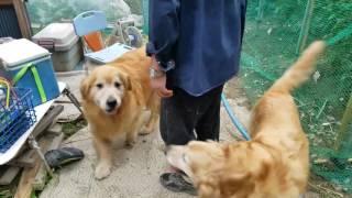 Download 畑で遊んでたらじいちゃんが来て嬉しいゴールデンレトリバー 2017年6月24日 Video