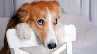 Download Best Of Funny Guilty Dog Compilation 2014 Video