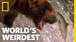 Download Salmon Soar without Wings | World's Weirdest Video