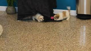 Download Shichon Puppies For Sale Jake Stoltzfus H's Video