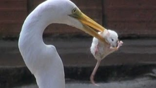 Download EGRET EATS MOUSE Video