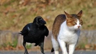 Download Top Funny Crow Videos Compilation 2017 [BEST OF] Video