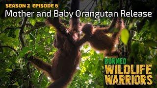 Download Mother and Baby Orangutan Release | Borneo Wildlife Warriors | S02E06 | [UHD/4K] | SZtv Video