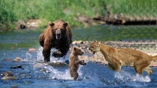 Download Mother Bear Save Her Baby From Puma | Puma Hunting Fail Video