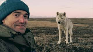 Download Living Among Wolves - Snow Wolf Family And Me - BBC Video