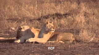 Download Lions display affectionate Greeting Behavior after hunting separately for 24 hours - Tanzania Video