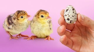 Download EXPERIMENT: Hatching Eggs from a Grocery Store (Part II) Video