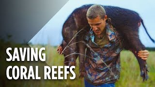 Download Hunting Wild Pigs Could Save Hawaii's Coral Reefs Video