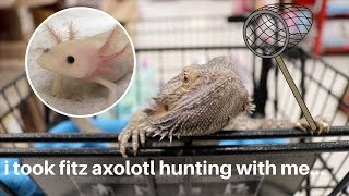 Download I TOOK MY BEARDED DRAGON AXOLOTL HUNTING! we found one... Video