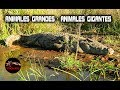 Download Animales grandes – Animales gigantes reales: Los animales mas grandes del mundo 2 Video