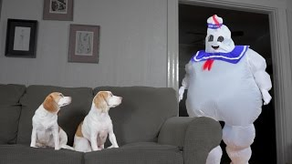 Download Dogs vs. Dancing Marshmallow Puft Man: Funny Dogs Maymo & Penny Video
