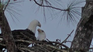 Download SWFL Eagles H & M Continue Adding Sicks & H Adds Some In The 'Alternate' Nest 09-25-18 Video
