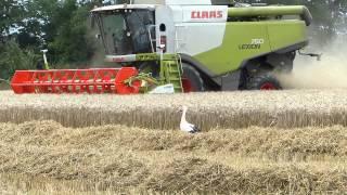 Download Moisson du blé, vidéo version longue 17 mn, en Alsace près de Colmar. Video