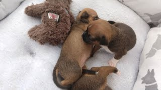 Download Max's Mission: Live puppy cam Video