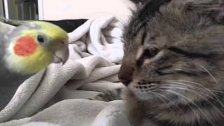 Download Kit the cockatiel singing and talking to the cat, Henry. Video