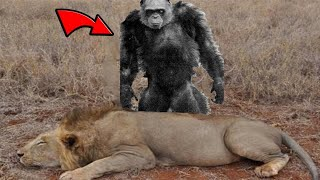Download The Bili Apes Are Lion Killers Video